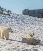 Los osos polares mueren de hambre por culpa de la humanidad