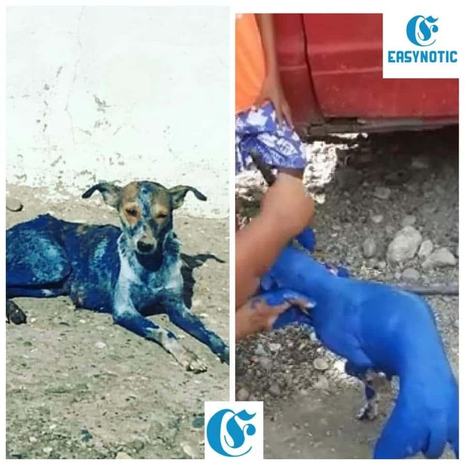 Antisociales pintan de azul un perro en República Dominicana