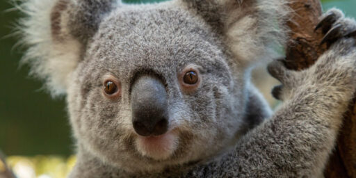 Lewis el Koala