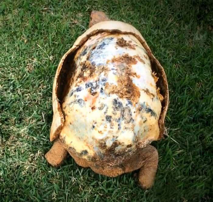 Caparazón impreso en 3D salvó vida de una tortuga